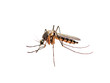 canvas print picture Zika or Malaria Virus Infected Mosquito Isolated on White