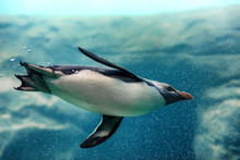 New Zealand Fiordland Penguin Swimming Underwater At Zoo