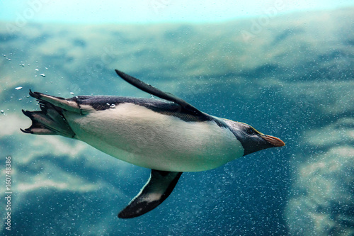 Deurstickers Pinguin New Zealand Fiordland penguin swimming underwater at zoo