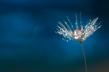 Dandelion With A Drop Of Water. A Beautiful Macro Seed Of A Dandelion On A Blue Background. Abstract Macro.
