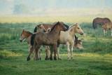 Fototapeta Zwierzęta - Źrebięta