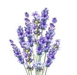 Lavandula aromatyczne kwiaty ziołowe. - 160760934