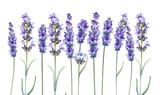 Lavandula aromatyczne kwiaty ziołowe. - 160760985