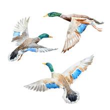 Vector Set With Watercolor Ducks