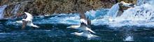 Northern Gannets, Bass Rock, S...