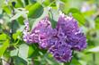 Branch blossoming lilac closeup