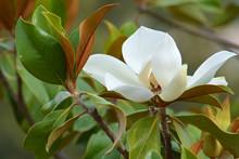 Fiore Di Magnolia _ Magnolia Grandiflora