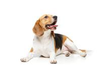 Beautiful Beagle Dog Isolated ...