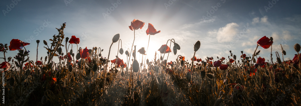 Poppies at entire head cornwall england uk