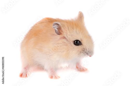 Hamster haarig