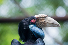 Close Up Head Of Wreathed Hornbill In Cage