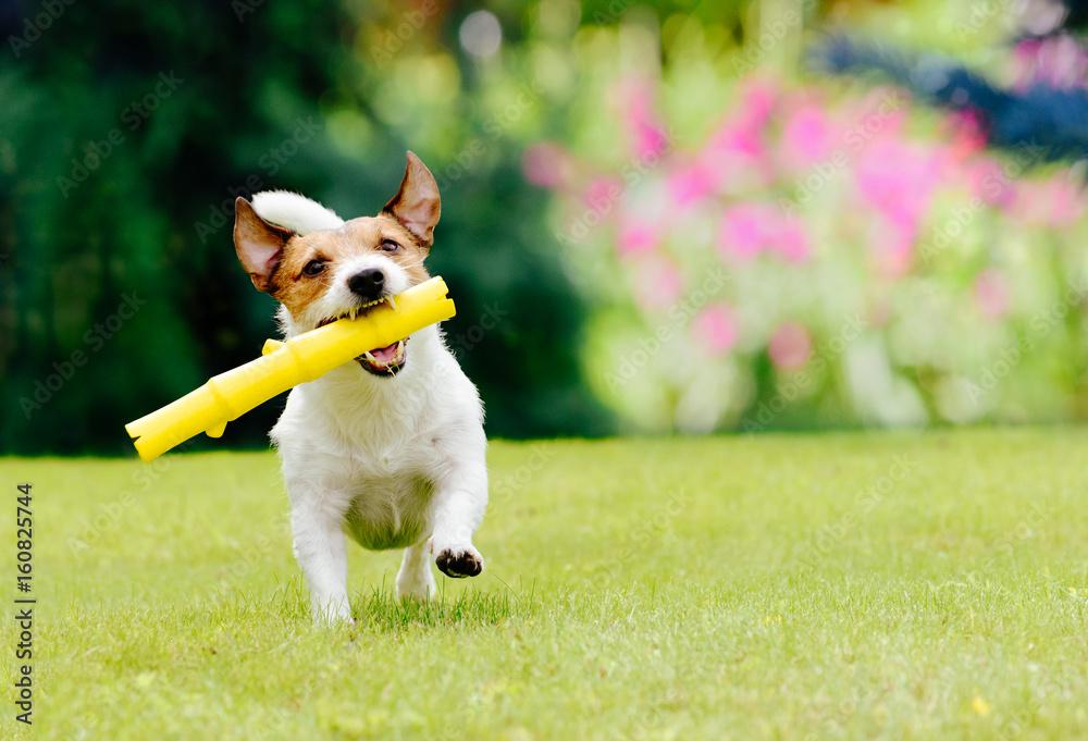 Fototapety, obrazy: Dog running on summer lawn fetching toy
