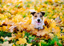 Happy Dog Lying Down In Colorful Autumn Fallen Leaves On Sunny Lawn