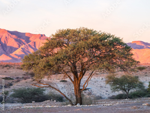 Tree in Namib-Naukluft National Park, Namibia, Africa, at sunset Tableau sur Toile