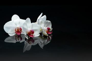 Orchidea kwitnie na czerni