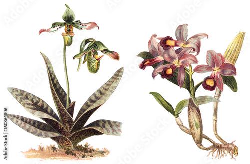 Αφίσα  Orchid - left Paphiopedilum venustum and right Cattleya Skinneri / vintage illus
