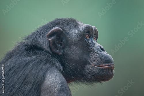 Fotografia Chimpanzee portrait close up at open resort