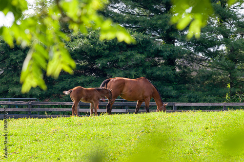 Fotografie, Obraz  Mare with her foal at horse farm.