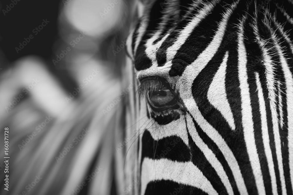 Fototapeta Beautiful Zebra Eye in zoo