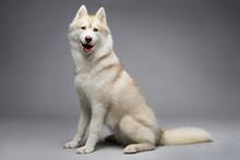 Portrait Of Siberian Husky On ...