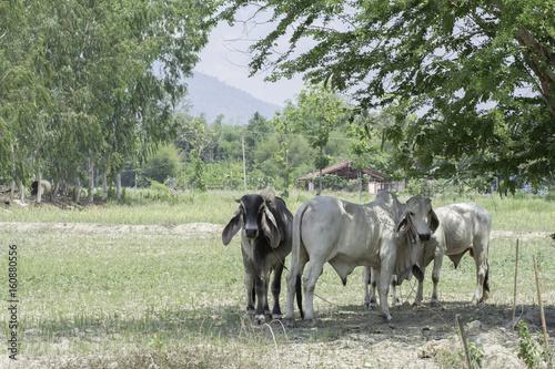 Keuken foto achterwand Olijf Herd of cows standing under a tree
