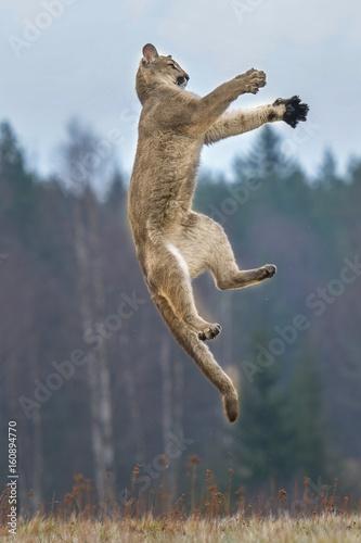 Poster Puma Cougar (Puma concolor)