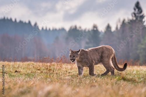 cougar-puma-concolor