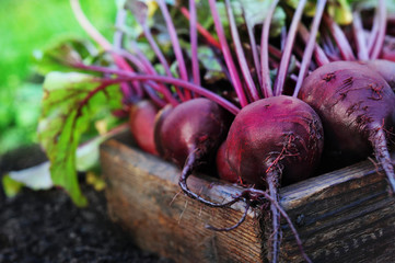 Fototapeta Fresh harvested beetroots in wooden crate, pile of homegrown organic beets with leaves on soil background