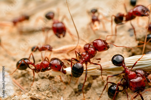 Photo Strong jaws of red ant close-up