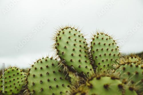 California Coast Palos Verdes Cactus 03