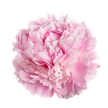 A Flower Gently Pink Peony Iso...