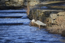 Great Blue Heron Catching And ...
