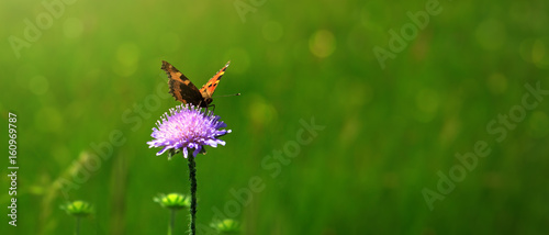 Fotobehang Vlinder Orange butterfly on purple caucasian scabious.