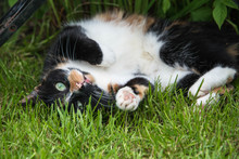 A Tortoiseshell Cat Rolling Around In A Garden In England