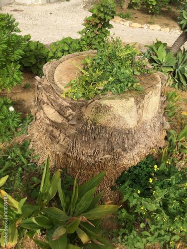 Palm tree Decepada...