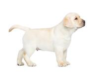 Small Labrador Puppy Standing ...