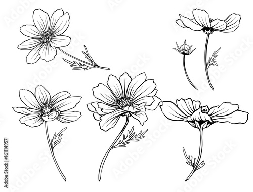 Cosmos flowers. Set of outline flowers. Stock line vector illustration. Outline hand drawing coloring page for coloring book.
