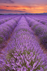 Sunrise over fields of lavender in the Provence, France