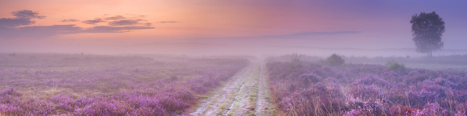 Path through blooming heather near Hilversum, The Netherlands