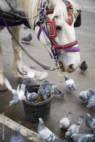 Fototapeta Central Park Carriage horse shares his bucket lunch with grateful pigeons in New York City