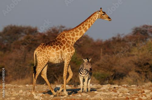Photo  Giraffe und Steppenzebra, Größenvergleich, Etosha Nationalpark, Namibia
