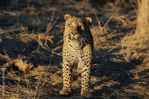 Obrazy na płótnie Canvas Leopard, schaut nach oben, Namibia