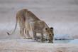 Löwe am Wasserloch, Etosha Nationalpark, Namibia