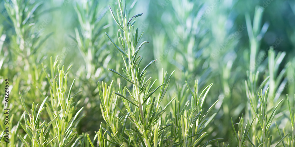 Fototapety, obrazy: Rosemary plant, agriculture and gardening concepts