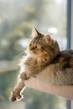 Maine Coon Cat Relaxes On Her ...