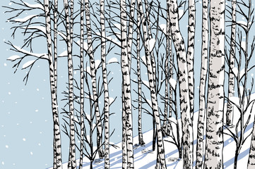 Fototapeta birch grove in the winter
