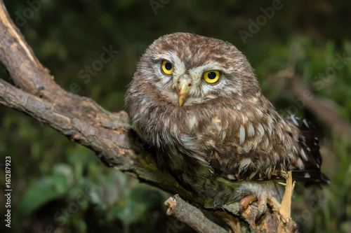 Keuken foto achterwand Uil Little owl or Athene noctua perched on branch