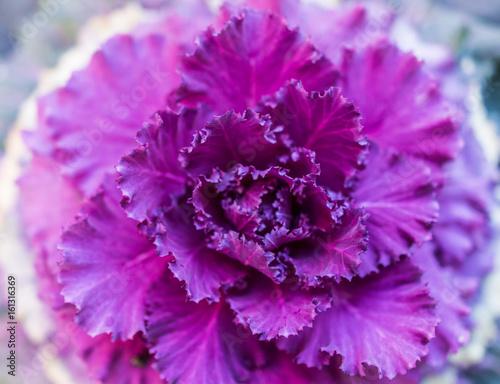 Plakat Płaski odgórnego widoku zbliżenie Purpurowa kale roślina w ogródzie