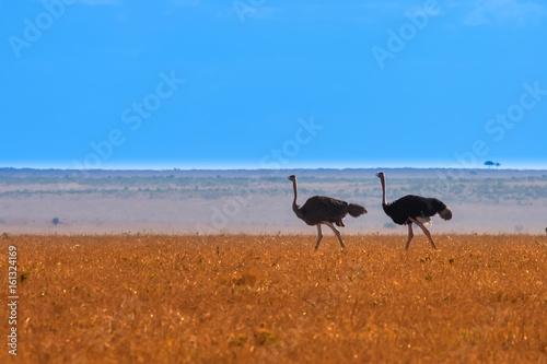 Two ostrich on the horizon. Savannah. Africa Kenya.