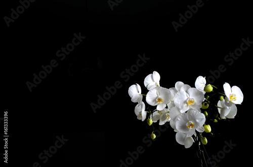 piękny biały storczyk w pokoju  - 161333396
